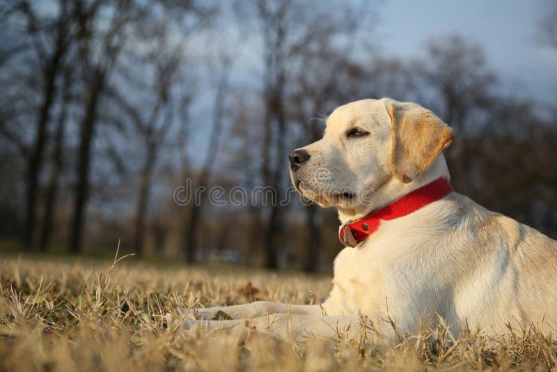 Decorando o cachorrinho de labrador retriever da árvore de Natal na jarda em Sunseton esverdeie o fundo foto de stock royalty free