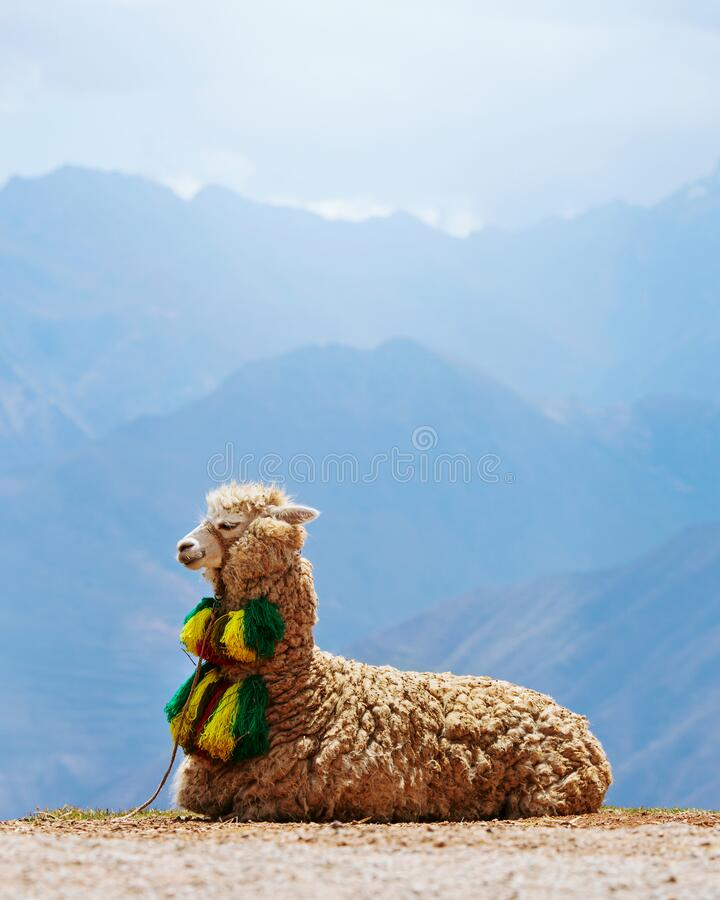 Decorated Alpaca with mountains in the background royalty free stock photography