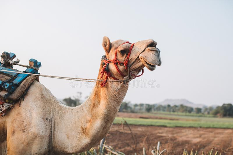 A camel smiles in the desert of Rajasthan in Jaisalmer, India. stock photos