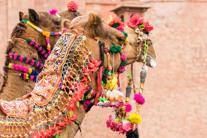 Decorated Camels stock photo