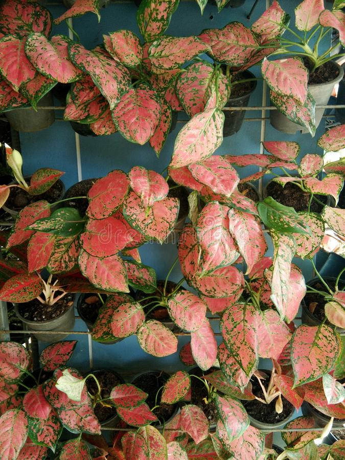 Wall of Aglaonema trees in pots royalty free stock photography