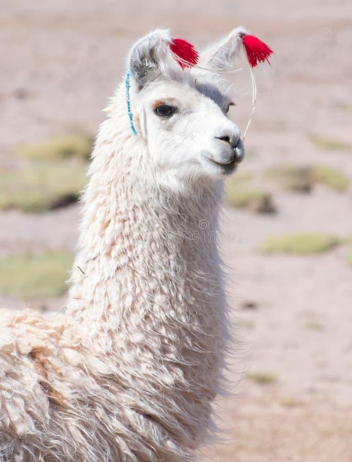 Free Decorated White Llama Stock Photography - 118192222