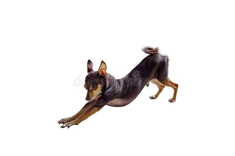 Decoratief Russisch Toy Terrier stock afbeeldingen
