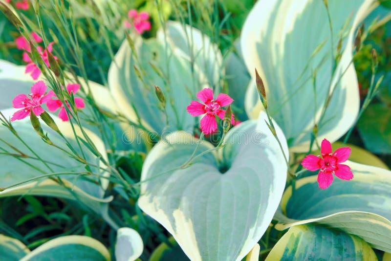 Decoratieve anjerbloemen en graskhosta De achtergrond van de bloem royalty-vrije stock fotografie