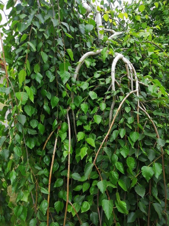 Decoratieve berk in de tuin stock foto