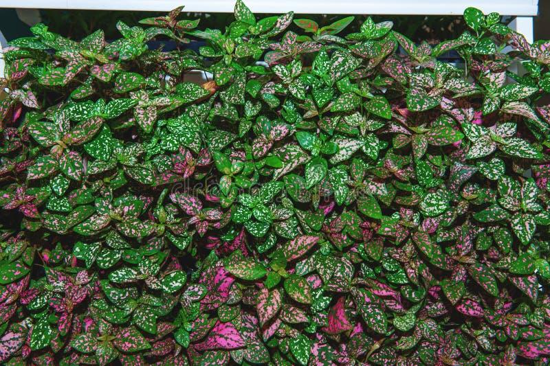 Decoratieve bladinstallatie genoemd Erwtenhypoestes PHYLLOSTACHYA mengeling Bont multicolored bloemenachtergrond royalty-vrije stock fotografie