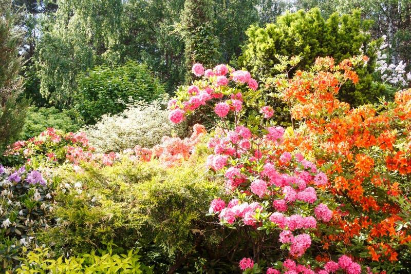 Decoratieve bomen struiken en bloemen in de tuin: sparren, arborvitae, pijnboom, spar, jeneverbes, rododendron royalty-vrije stock foto's