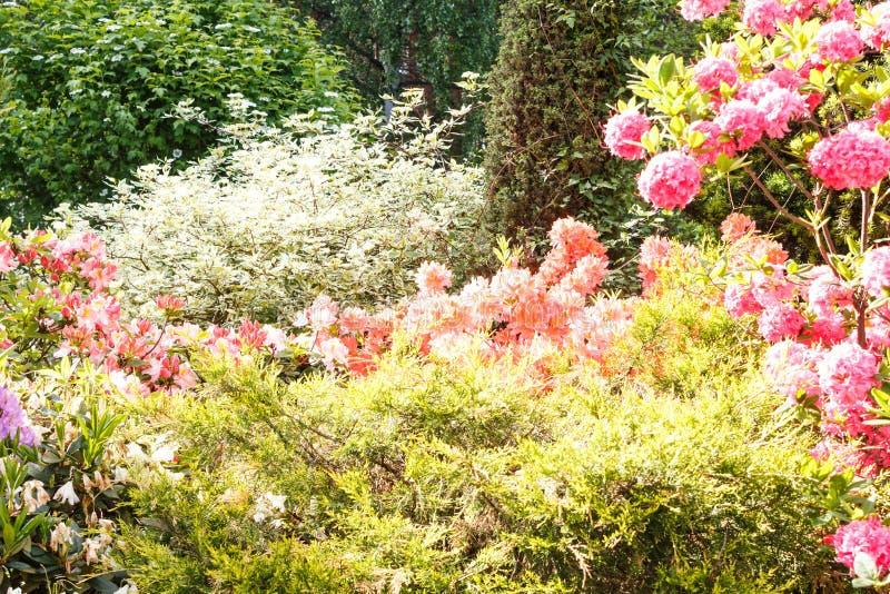 Decoratieve bomen struiken en bloemen in de tuin: sparren, arborvitae, pijnboom, spar, jeneverbes, rododendron royalty-vrije stock afbeelding
