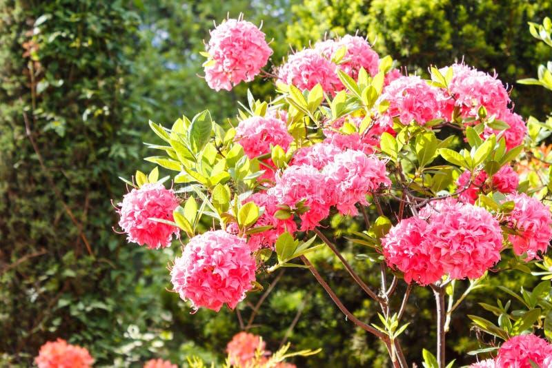 Decoratieve bomen struiken en bloemen in de tuin: sparren, arborvitae, pijnboom, spar, jeneverbes, rododendron stock foto