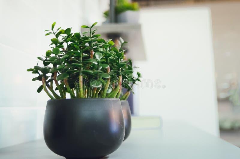 Decoratieve houseplant Crassula royalty-vrije stock foto's