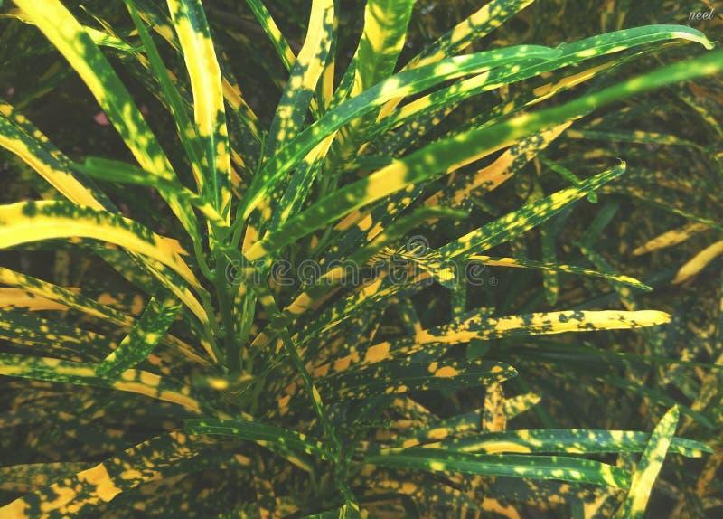Decoratieve Huisinstallatie met Mooie Bladeren - de Vlekdwerg van Croton Pictum stock foto's