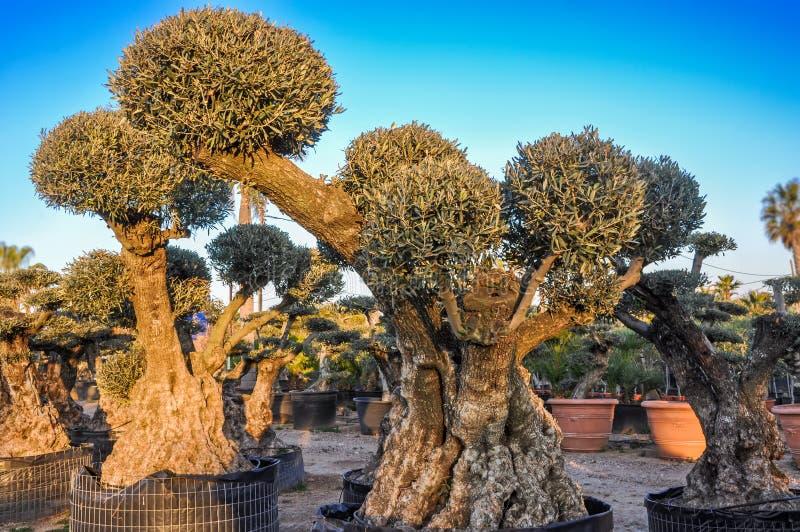 Decoratieve olijfbomen met bolvormige die kronen voor verkoop worden aangeboden royalty-vrije stock fotografie