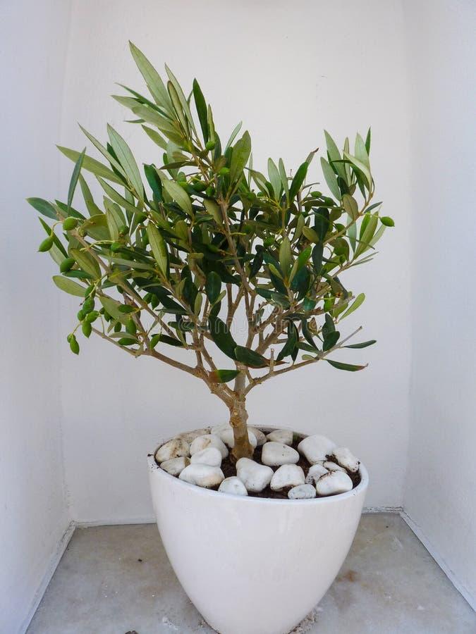 Decoratieve olijfboom royalty-vrije stock foto's