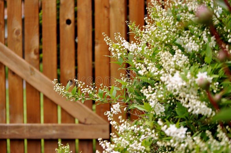 Decoratieve struik, deutzia gracilis, tegen houten omheining royalty-vrije stock fotografie