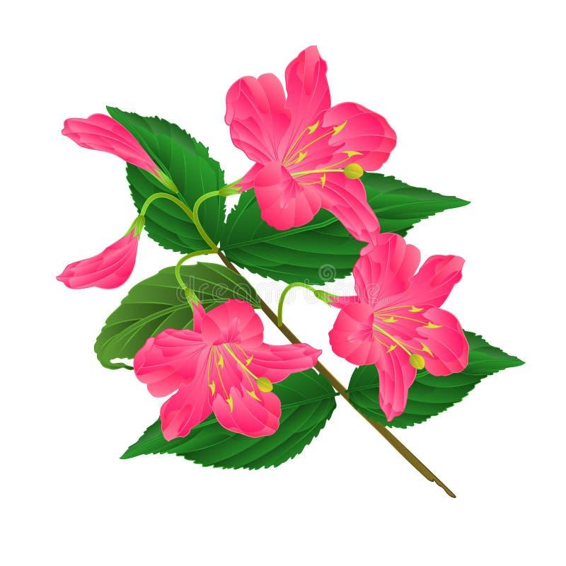 Decoratieve struik Weigela Eva Supreme van de de lente de roze bloem op een witte uitstekende vector editable illustratie als ach vector illustratie