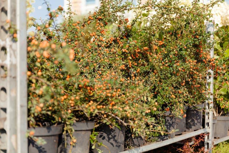 Decoratieve tuininstallaties, groene aardbloemen in pot stock afbeelding