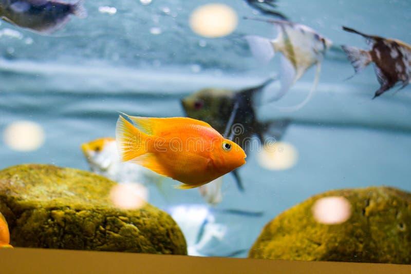 Decoratieve vissen in het aquarium Zeeëngel en Goudvis stock afbeeldingen