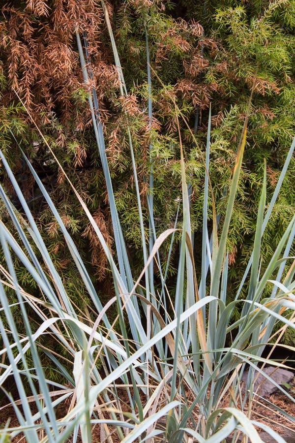 Decoratieve zegge op natuurlijke groene en bruine achtergrond Siergras in de tuin royalty-vrije stock foto