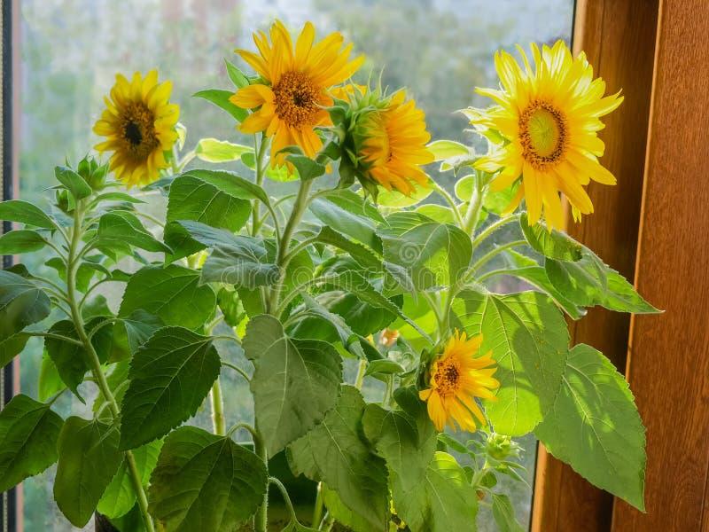 Decoratieve zonnebloemen op een achtergrond van venster royalty-vrije stock afbeeldingen