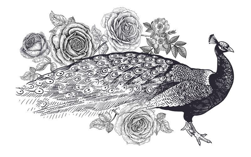 Decoration with bird and flowers. Realistic hand drawing peacock and roses isolated on white background. Vector illustration art. stock illustration
