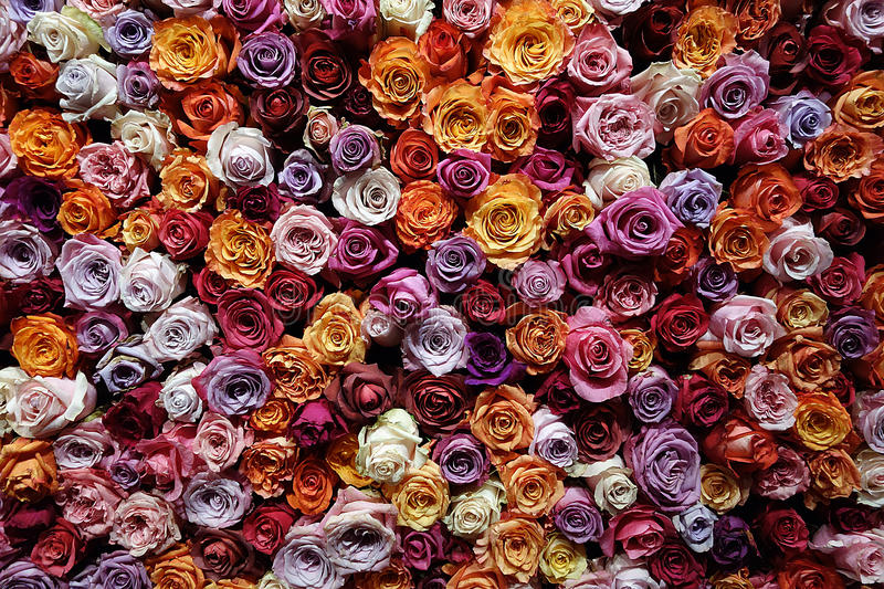 Download Countless roses stock photo. Image of color, colours - 30190062
