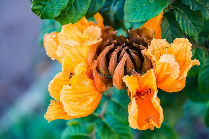 Decorative african tulip tree flower flame of the forest Tobago Caribbean stock images