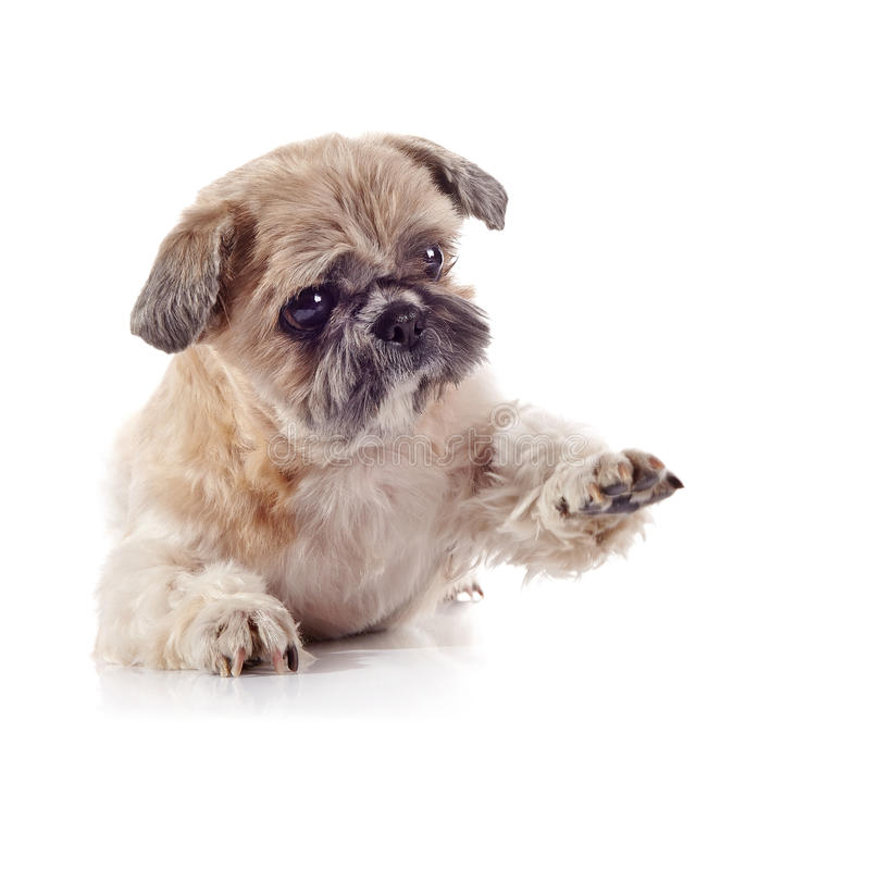 Free Decorative Amusing Small Doggie Of Breed Of A Shih-tzu Stock Images - 52150324