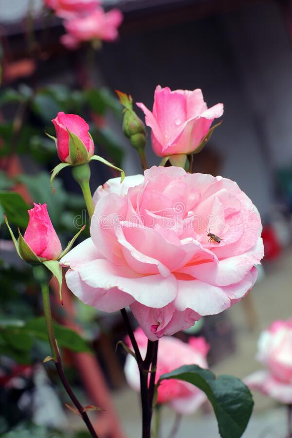 Pink roses and wasp stock image