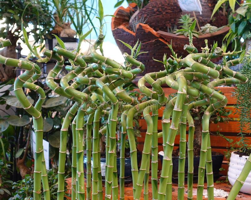 Decorative bamboo curved into a spiral. Sale of garden plants royalty free stock photos