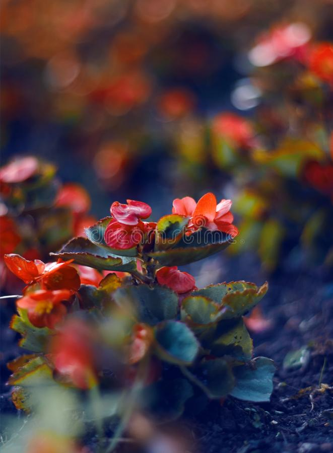 A decorative begonia flower with bright scarlet petals stock photo