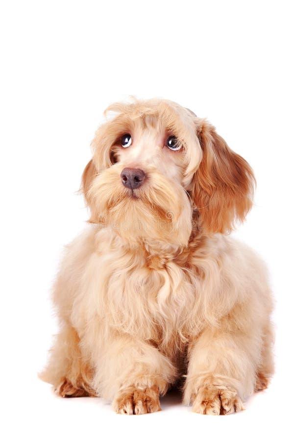 Free Decorative Beige Fluffy Dog Royalty Free Stock Photo - 28795595