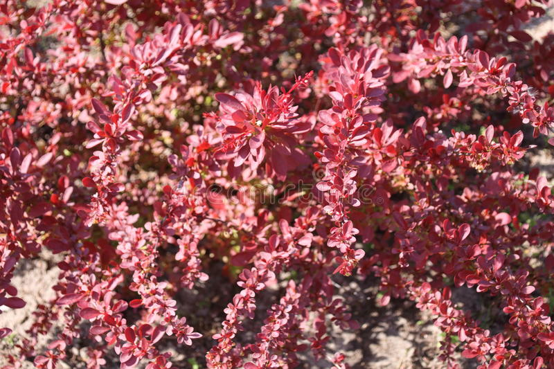 Decorative berberis thunbergii with red leaves. In the garden royalty free stock images