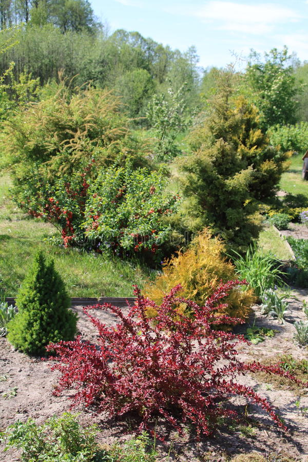 Decorative berberis thunbergii with red leaves and picea. Glauca in the garden stock photos