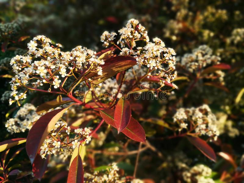 Decorative blossom tree with white flowers. Red yellow orange green leaves. Sunny royalty free stock photos