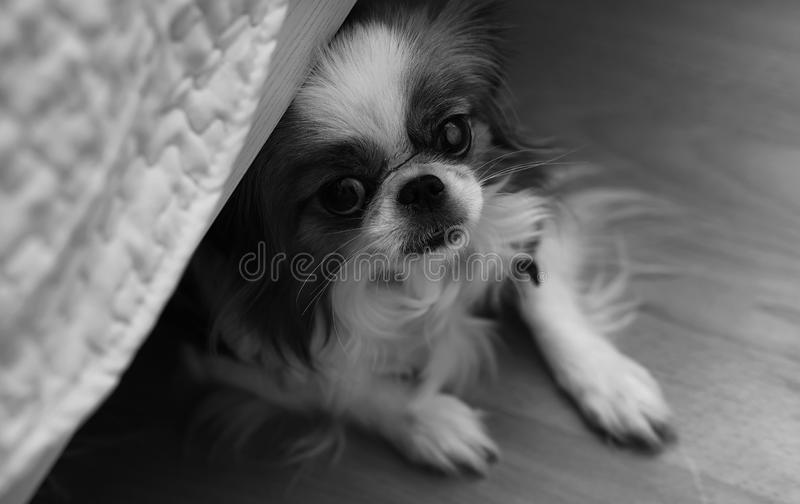 Decorative breed of dogs. A small domestic dog. The dog under th. Decorative breed of dogs. Small domestic dog. The dog under the bed hides.Japanese hin dogr royalty free stock photos
