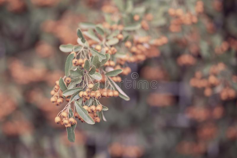 Decorative bush with orange berries. Small orange berries with green leaves. Soft focus. Toned image royalty free stock image