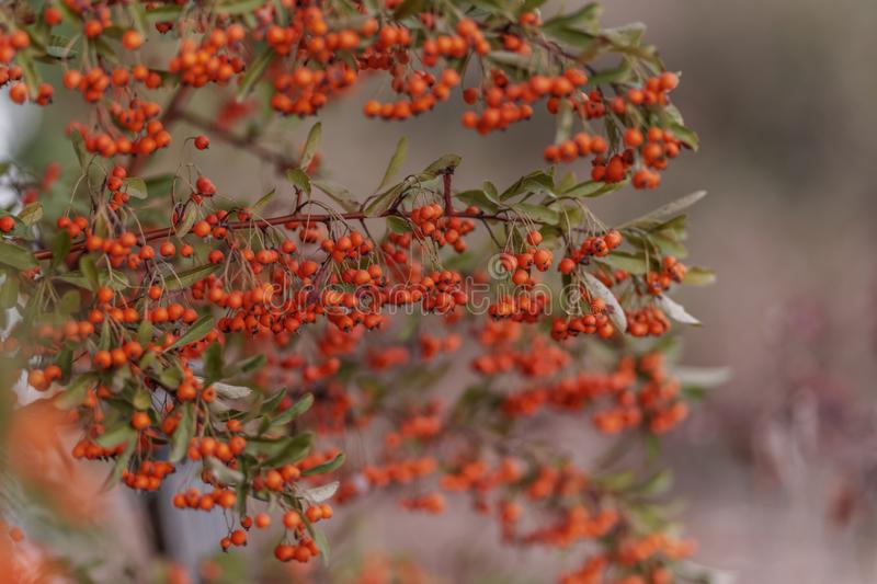 Decorative bush with red berries. Small red berries with green leaves. Soft focus. Toned image royalty free stock image