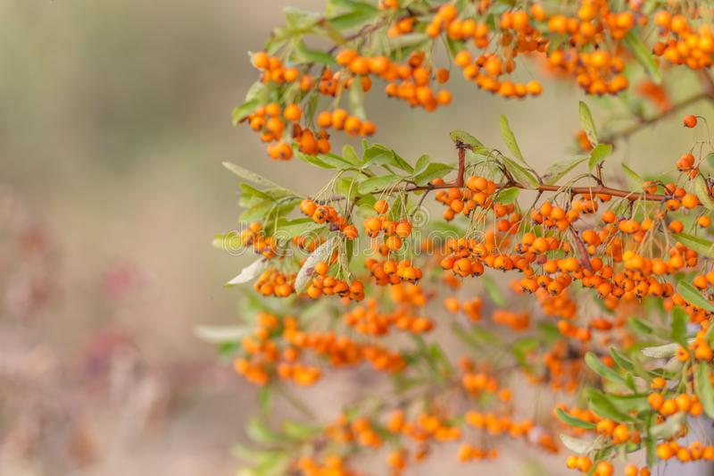 Decorative bush with red berries. Small red berries with green leaves. Soft focus. Toned image royalty free stock photography