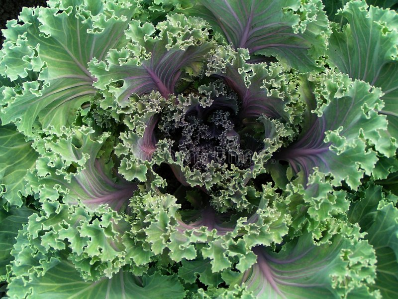Download Decorative cabbage stock image. Image of nature, cabbage - 184619