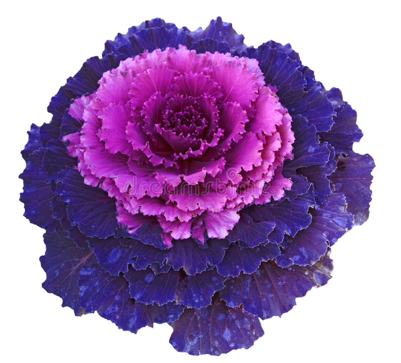 Free Decorative Cabbage Stock Photo - 22119630