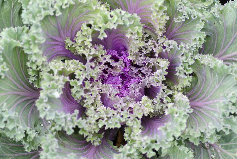 Download Decorative Cabbage Stock Photography - Image: 26417072