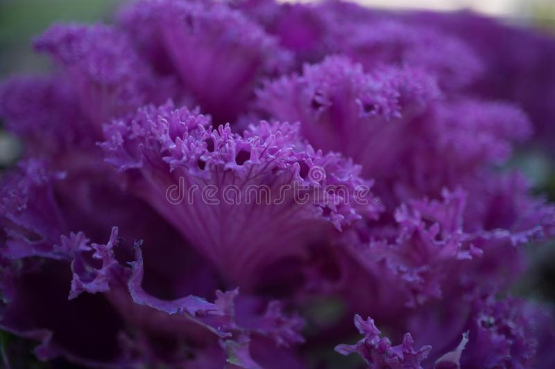 decorative cabbage flowers royalty free stock photography