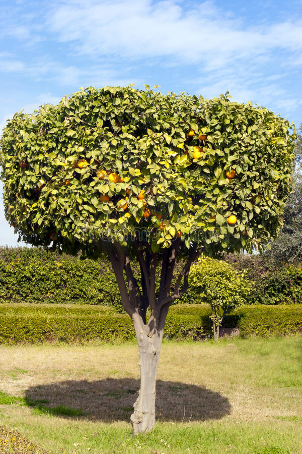Decorative citrus tree in an orange grove. Ornamental orange tree full of ripe fruits on its branches in an orange grove royalty free stock photos