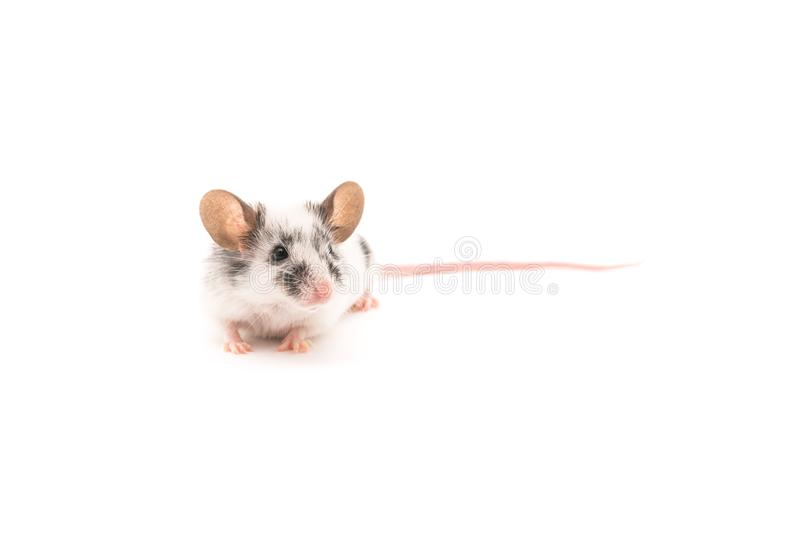 Decorative cute mouse isolated on white background stock image