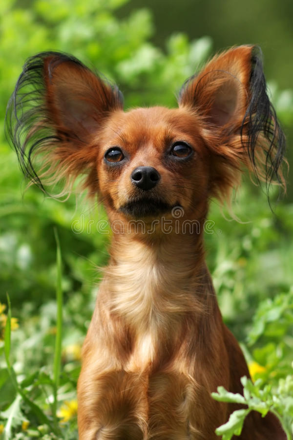 Decorative dog Russian Toy Terrier royalty free stock photography