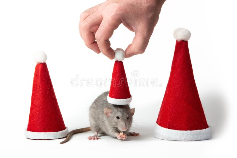 Decorative dumbo rat between santa hats on a white background isolated. Male hand puts Santa Claus cap on rat. Year of the rat. Chinese New Year. Charming pet royalty free stock image