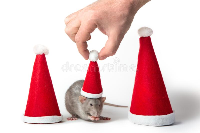 Decorative dumbo rat between santa hats on a white background isolated. Male hand puts Santa Claus cap on rat. Year of the rat. Chinese New Year. Charming pet royalty free stock images