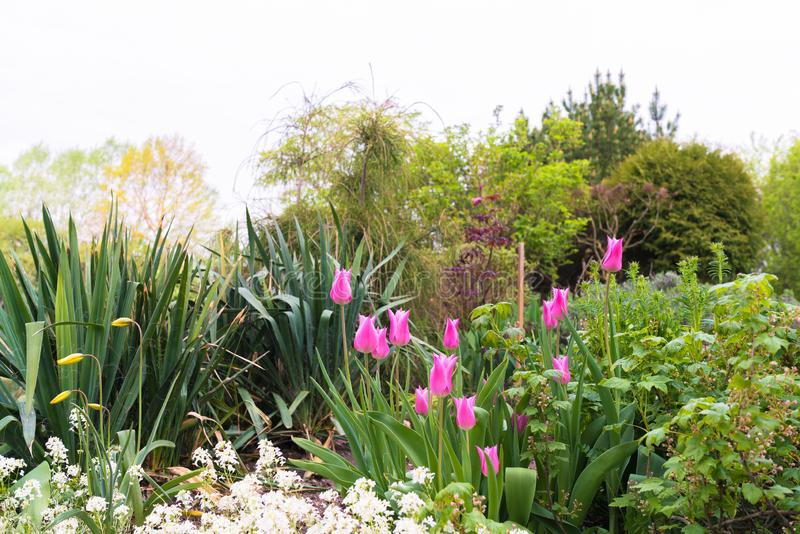 Decorative family garden with bright pink tulips. Other decorative plants and shrubs are still visible stock photos