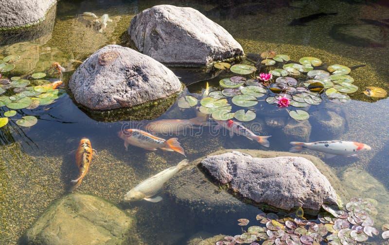 Decorative fish in pond stock photos