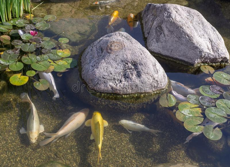 Decorative fish in pond royalty free stock photography